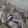 Способ сохранить птицу