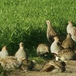 Охота на куропаток