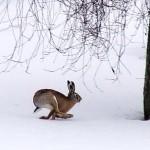 Охота на зайцев в садах